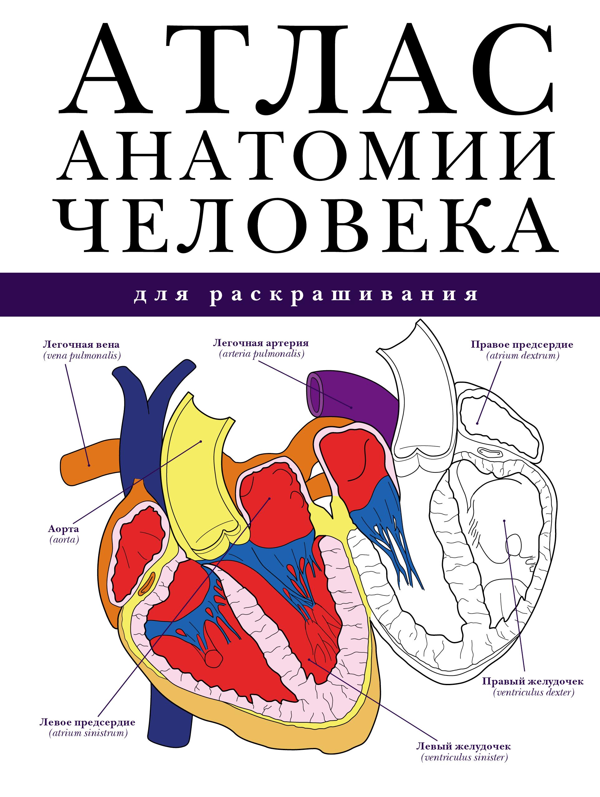 Абрахамс П. Атлас анатомии человека для раскрашивания а а никитина анатомия человека