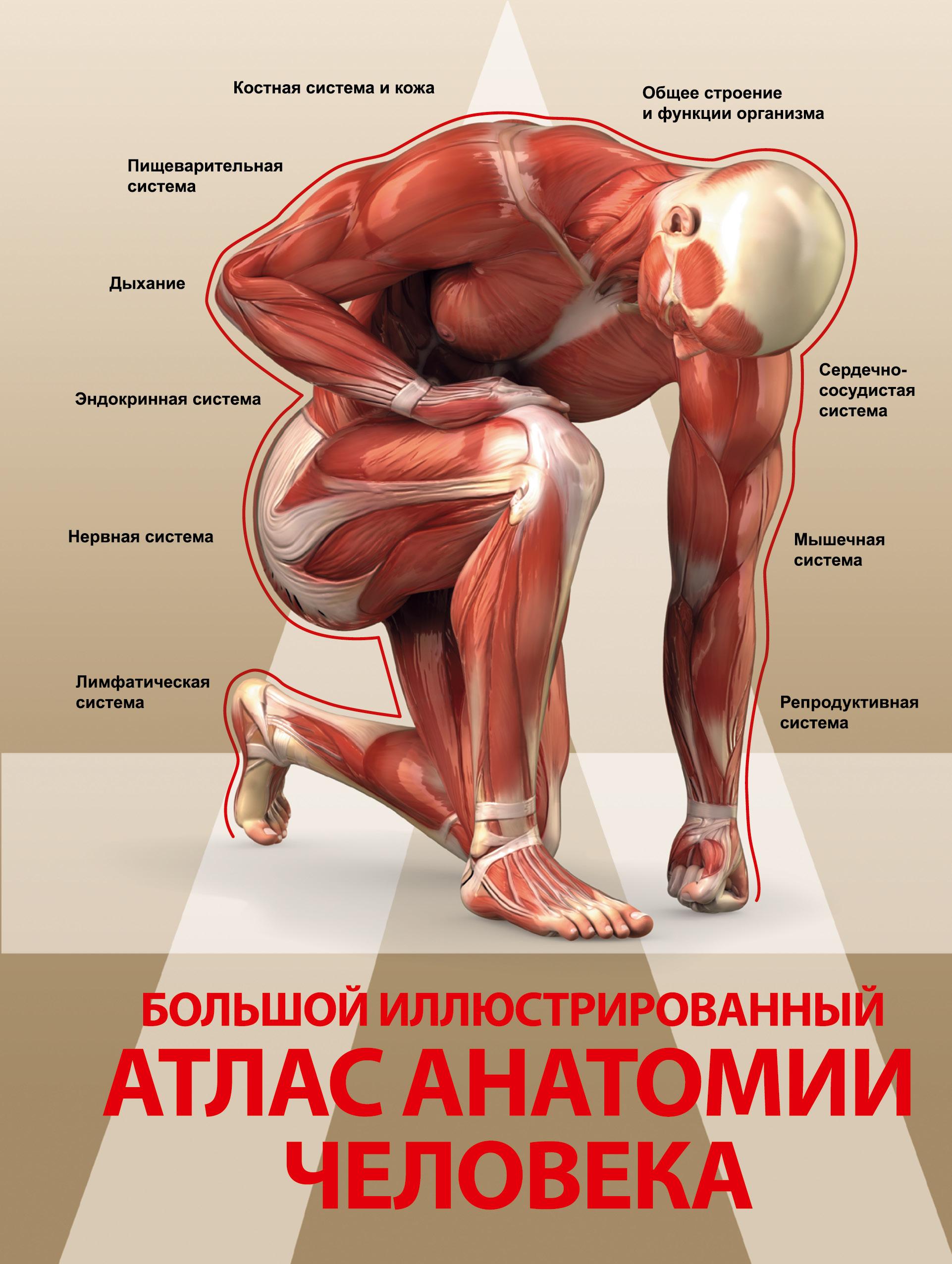 . Большой иллюстрированный атлас анатомии человека анна спектор большой иллюстрированный атлас анатомии человека