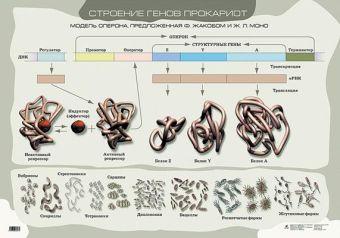 Строение генов прокариот.(1) Сивоглазов В.И., Морзунова И.Б.