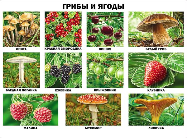 Грибы и ягоды (плакат)