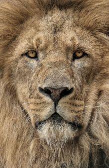 Лев (А5)